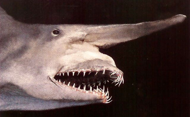 File:Mitsukurina owstoni goblin shark.jpg