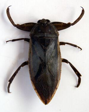 Lethocerus grandis
