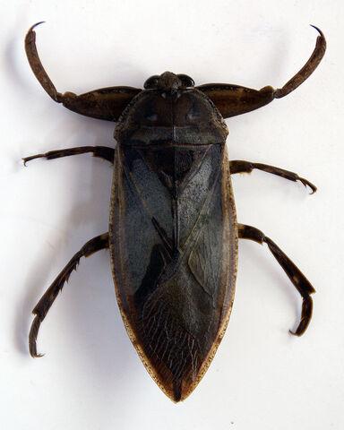 File:Lethocerus grandis.jpg