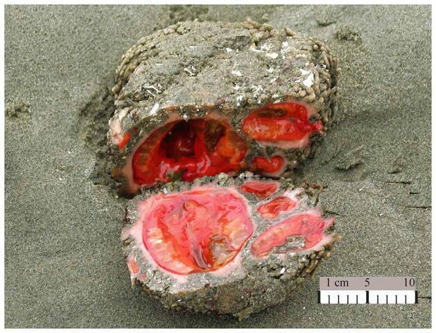 File:Pyura chilensis.jpeg
