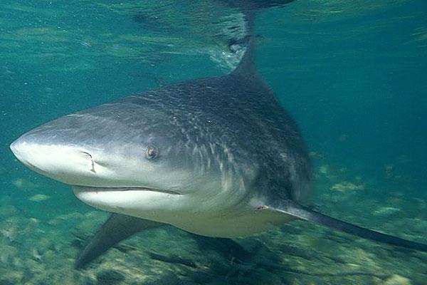 File:Ganges-shark-swims-pic.jpg