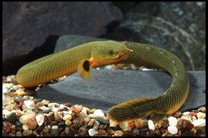 Erpetoichthys calabaricus reedfish ropefish snakefish