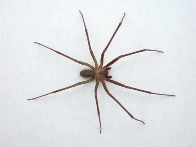 File:Brown-recluse-spider.jpg