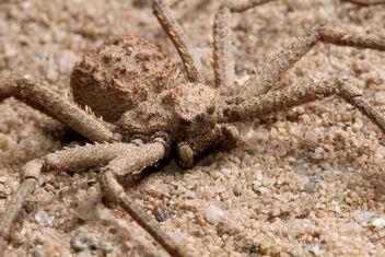 Six Eyes Sand Spider2