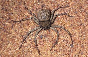 Sicarius-species-----N.-Larsen--NL96