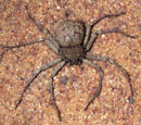 Six-eyed sand spider (Sicarius hahni)