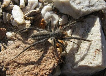 800px-Solfugid in veld near Uniondale (Western Cape) 1600