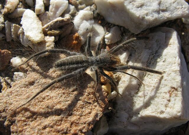 File:800px-Solfugid in veld near Uniondale (Western Cape) 1600.jpg