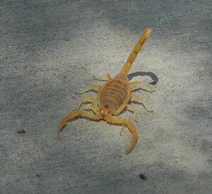Bbasgen-scorpion-front
