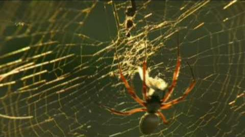 The Golden Orb Web Spider