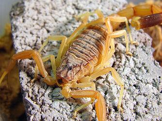 Deathstalker Dangerous Scorpion