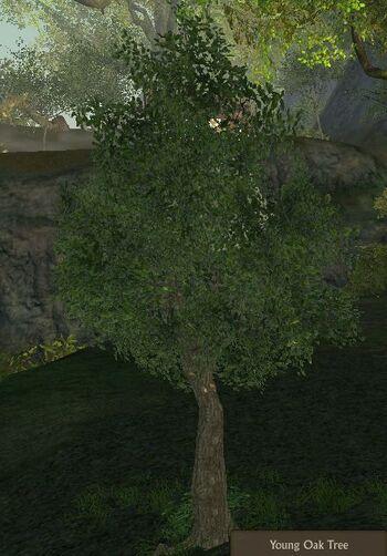 Oak Tree Young