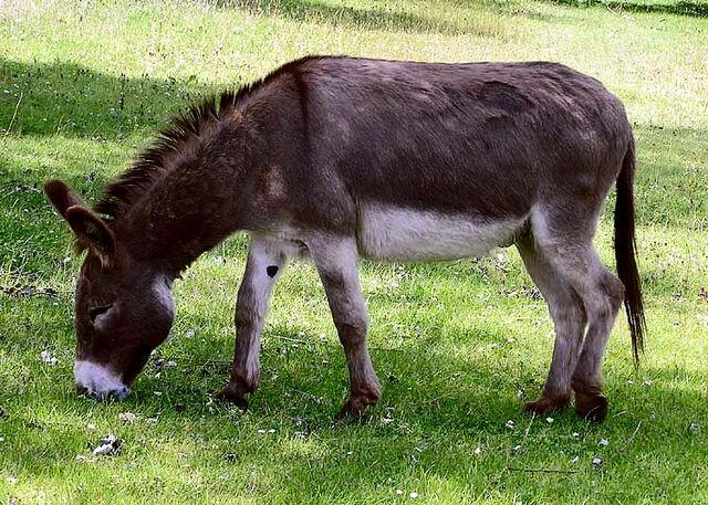 File:Donkey 1 arp 750px.jpg