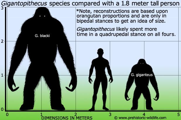 File:Gigantopithecus-size.jpg