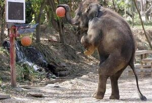 Basketball elephant