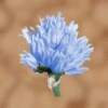 Eisblume.png