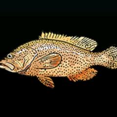 加勒比九棘鲈 - 稀有度:普通,尺寸:小