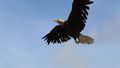 ACRG Bald Eagle.png