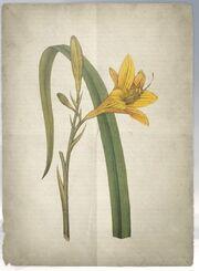ACS DB Yellowday Lily