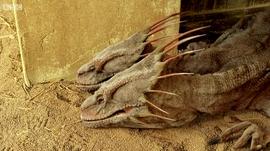 Two headed lizard