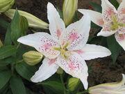 Glio Lily1