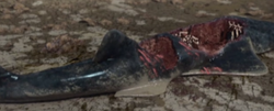 Onchopristis killed