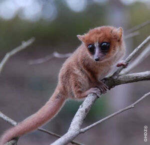 Simmons' mouse lemur