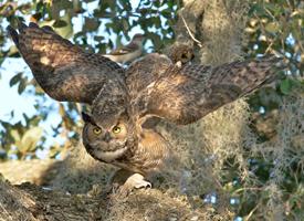 Great horned owl arlene koziol glamor