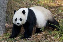 Giant-panda-at-national-zoo