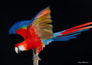 Scarlet-macaw-wings-2-avian-resources