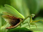 Praying-mantis-virginia 28393 990x742