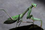 Praying Mantis (California)
