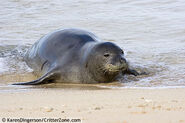 Hawaii-state-seal-animalhawaiian-monk-seal-monachus-schauinslandi-endangered-species-x3qbhalq