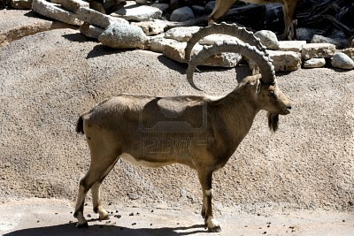 File:3106326-african-mountain-goat.jpg