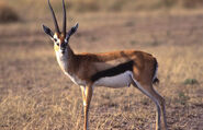 Thomson's-Gazelle