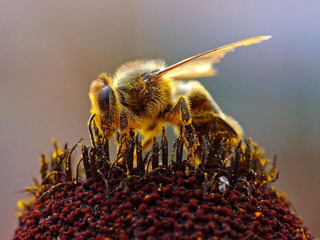 File:Bee pd3.jpg