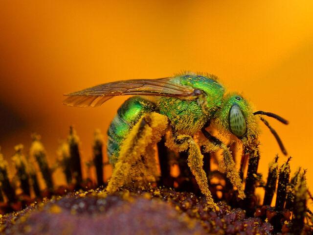File:Bee pd2.jpg