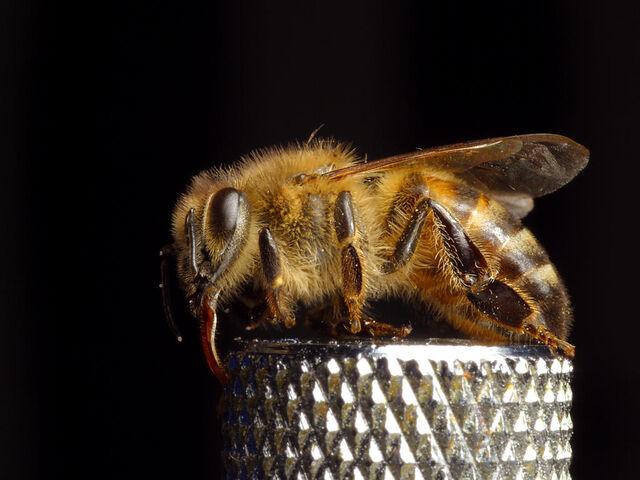 File:Bee pd8.jpg