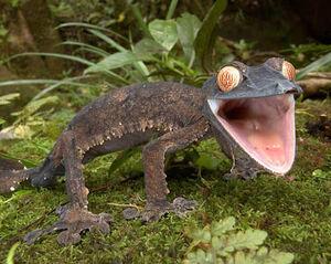A304 Giant leaf tailed Gecko