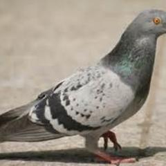 Pigeon - Columbiformes Columbidae.