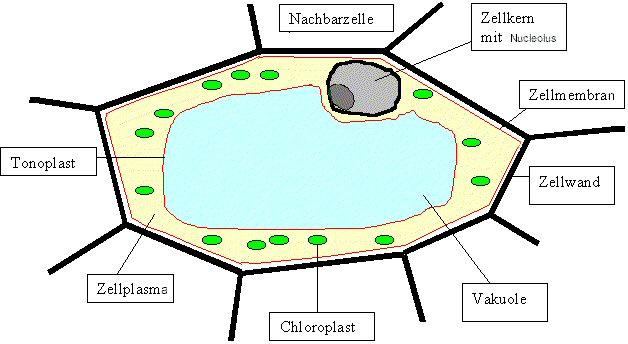 Aufbau Einer Zelle Arbeitsblatt : Cytologie biologie wiki fandom powered by wikia