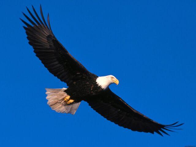 File:Eagle Soaring High.jpg