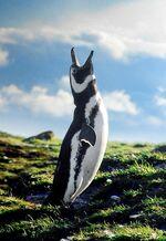 Magellanic Penguin Patagonia-8349