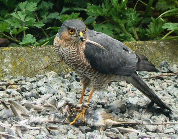 File:Sparrowhawk-5252.jpg