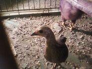 Chicken Truett
