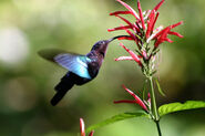 Purple-throated carib hummingbird feeding