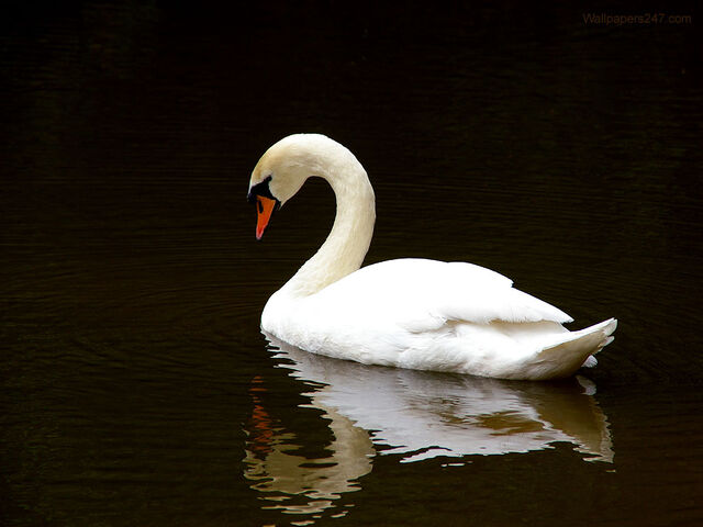File:White Swan.jpeg