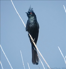 File:Phainopepla-Male.PNG