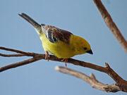 1024px-Sudan Golden Sparrow RWD3