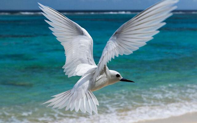 File:Flying White Tern.jpg